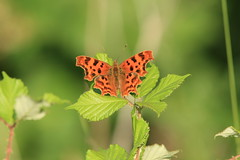 Comma (Polygonia c-album), by Peter Alfrey