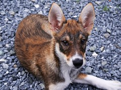 New camera. New dog. (hammershaug) Tags: husky alaskanhusky lumixgvario1442f3556ii