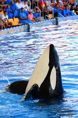 Orca Whale In Loro Park, Tenerife (Czermak Photography) Tags: spain tenerife whale orca canaryislands orcawhale loropark orcashow