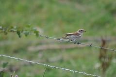 Neuntöter (nirak68) Tags: deutschland zaun vogel laniuscollurio ostholstein neuntöter naturschutzgebietneustädterbinnensee