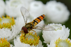 Hover fly (Ian R T) Tags: macro aberdeenshire hoverfly nikon105mmmacro crathescastlegarden