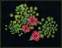 Floral fireworks (edenseekr) Tags: floral dill beebalm monarda flowerarrangement onblack