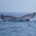 Humpback whales near Nuqui