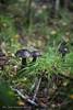 20140825060183 (koppomcolors) Tags: sweden sverige svamp värmland varmland maschroom koppomcolors