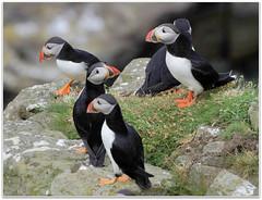 Five Puffins (eric robb niven) Tags: scotland wildlife isleofmull puffins seabirds lunga wildbird treshnish ericrobbniven pentaxk50