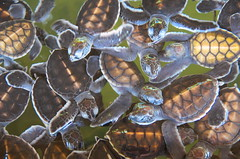 A lot of baby turtles