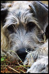 irish wolfhound (Petite Salamandre) Tags: irish dog chien medieval knights age middle chateau reenactment reenactors castel wolfhound irishwolfhound middleage chevaliers mdieval reconstitution reconstituteurs