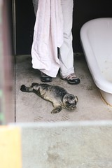 rescued seal pup (The Art of Exploring) Tags: ireland animal animals seal wexford babyseal courtown sealpup countywexford courtownharbour sealrescuecentre
