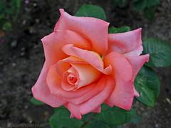 FELIZ DOMINGO ~~ HAPPY SUNDAY (AvQuu) Tags: flowers flores portugal nature rose fleurs garden natureza rosa jardim viseu