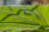 Blue Long-Legged Fly (dbubis) Tags: blue green leaves fly sunflower bubis dbphoto nex6