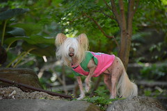 """LuLu The Rebel With A PAW Up And Hair In Her Face • <a style=""""font-size:0.8em;"""" href=""""http://www.flickr.com/photos/96196263@N07/14899573632/"""" target=""""_blank"""">View on Flickr</a>"""