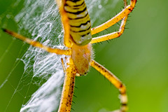 wasp-spider_310814 (kazua0213) Tags: macro insect spider sigma sd1