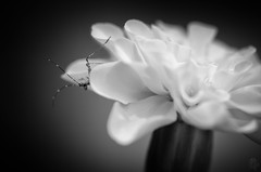Tread Lightly (Anthony Pallotto Photography) Tags: bw usa white black flower nature insect outdoors nikon maryland dslr mastodon treadlightly d7000