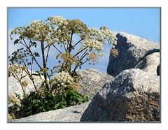 GOD MADE THE WEED AS WELL (Walter A. Aue) Tags: canada rock weed novascotia lace queen peggyscove annes walteraaue