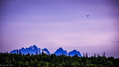 Flying home at dusk - Alaska Range, Near Talkeetna, Alaska (sureshbhat) Tags: trees mountains bird nature alaska clouds forest landscape evening unitedstates sundown eagle dusk aerial raptor denali denalinationalpark trappercreek denalistatepark theworldwelivein