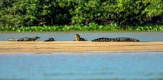 caiman group (in the pantanal - brazil) (Russell Scott Images) Tags: brazil southamerica river crocodilian pantanal sandbank jacar caimanyacare
