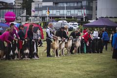 One, Two, Many (ellie johansen) Tags: show dog dogs norway canon newfoundland walk great hound august afghan dane breed meet hounds nkk utstilling breeders breeds bjerke 60d