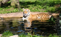 Tigre (Cla-vo) Tags: canada nature animal animals zoo nikon quebec tiger québec tigers granby tigre saguenay zoos tigres faune zoodegranby d7000 nikond7000
