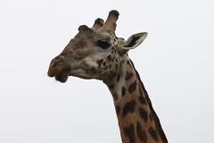 IMG_4041 (Jarod Burns) Tags: africa nationalpark kenya wildlife nairobi safari giraffe nairobinationalpark