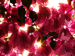 Bougainvillea at Sunset (DanielaC173) Tags: pink sunset flower bougainvillea backlit