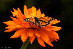 Flowers Bring Smiles (flipkeat) Tags: orange ontario nature gardens closeup butterfly insect wings different open sony awesome og monarch zinnia oakville gairloch danaus plexippus a500