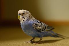 (Masaki Miida) Tags: bird animal   melopsittacusundulatus