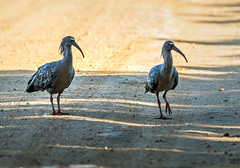 plumbeous ibis on road in the pantanal - brazil (Russell Scott Images) Tags: brazil pantanal birds plumbeousibis theristicus caerulescens southamerica russellscottimages