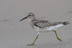 Running Great Knot