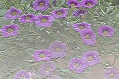 myyard, psd file, jdy175 XX201106240681-2.jpg (rachelgreenbelt) Tags: unitedstates solanaceae floweringplants magnoliophyta dicots eudicots nightshadefamily solanales asterids dicotyledons divisionmagnoliophyta ordersolanales familysolanaceae polemoniales solanaceaefamily petunioideae subfamilypetunioideae spermatophytes calibrachoaall lamiidsclade asteridsclade petunioideaesubfamily solanalesorder calibrachoapurple