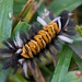 From The Top - a Milkweed Tussock Caterpillar