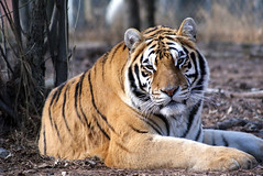 Kaela Tiger