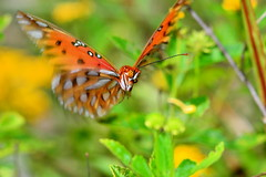 ...in coming (donjuanmon) Tags: macro nature closeup butterfly flying cliches gulffritillary hcs donjuanmon
