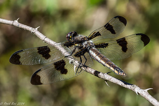 Female Twelve-spotted Skimmer [Libellula pulchella]