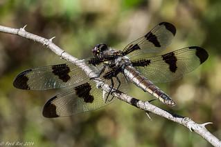 Female Twelve-spotted Skimmer [Libellula pulchella]
