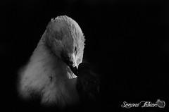 Eagle LowKey (meepeachii) Tags: bw animal animals eagle lowkey