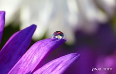 Flower drop ~ (Dave ***) Tags: flower macro nature dave lens happy mirror colorful upsidedown vivid drop
