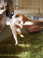 Irori (rampx) Tags: cat jump pentax action kittens neko   irori miaw 645z