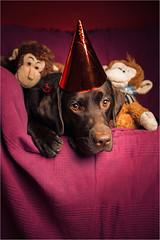 Connie - second birthday (Tomas.Kral) Tags: birthday dog animal canon labrador connie strobe speedlite 2870mm strobist 5dmarkii yn560ii