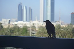 A Bird on my Balcony (katie_mccolgan) Tags: city favorite bird silhouette contrast buildings background balcony wildlife uae middleeast abudhabi mysterious blackbird unitedarabemirates patience ruleofthirds compisition