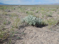 Sagebrush steppe: south of Fields, Oregon (Matt Lavin) Tags: oregon fields steensmountains cheatgrass krascheninnikovialanata bromustectorum sagebrushsteppe wyomingbigsagebrush artemisiatridentatawyomingensis