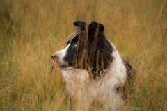 42/52 La Madame (JJFET) Tags: 42 52 weeks for dogs mist border collie