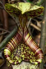 Nepenthes rafflesiana upper pitchers (Boazng) Tags: nepenthes rafflesiana upper pitcher carnivorousplant