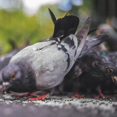 Pecking Order. (ThePhotographersRepublic) Tags: pigeon bird park london eating nature bokeh pov perspective
