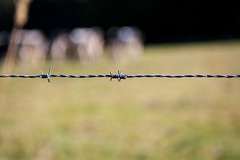 Cows on the meadow (s.knellesen) Tags: cows khe barbedwire stacheldraht zaun fence knellesen