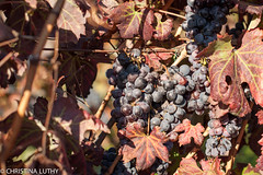 untitled-6 (christinaluthy) Tags: italy europe volcano mountvesuvius olive winebarrel wine grapes vineyard vesuvio grapevine