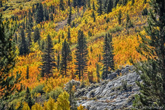Fall Colors - Aspens Galore (www.karltonhuberphotography.com) Tags: aspens autumn california conifers easternsierra fallcolors forest granite hillside horizontalimage karltonhuber landscape light naturalworld nature outdoors randomness rugged slope splendor steep trees vivid wildplaces