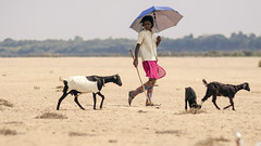 (Kals Pics) Tags: thirumazhapadi ariyalur thirumanur tiruchirapalli thanjavur tamilnadu india goats kid woman walk grazing vegetation nature grasslands kollidam kaveri river banks indianvillages ruralpeople villagelife ruralindia villagepeople rurallife umbrella sunlight cwc chennaiweelendclickers roi rootsofindia kauvery trichy tanjore tirumanur incredibleindia life people cauvery kalspics