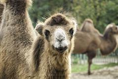 I'm watching you (johanna151) Tags: animals zoo camel nature wild mammal