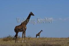10077396 (wolfgangkaehler) Tags: 2016africa african eastafrica eastafrican kenya kenyan masaimara masaimarakenya masaimaranationalreserve wildlife grassland grasslands masaigiraffe masaigiraffegiraffacamelopardalis masaigiraffegiraffacamelopardalistippelskirchi giraffe giraffes