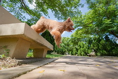 寵物寫真 抓拍動物 rumax (RuMax 2010) Tags: 20160624 寵物寫真 cocha 紅貴賓 攝影推薦 寵物拍照 rumax
